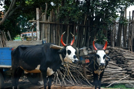 decorated-cows.jpg