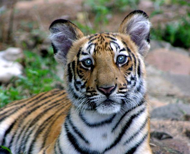 Green tiger eyes - photo#12