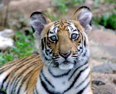 tiger-eyes.jpg