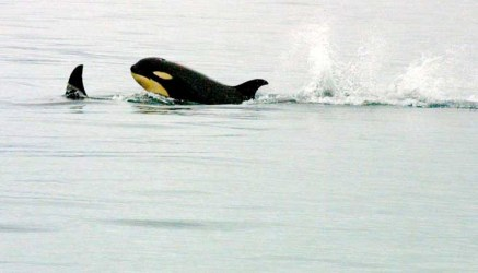 breaching-orca.jpg